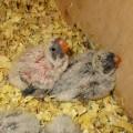 2020-07-31 (2) двое старших птенцов.JPG